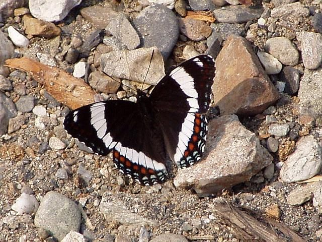 White Admiral.  Usually 3-3 1/2 inches long.