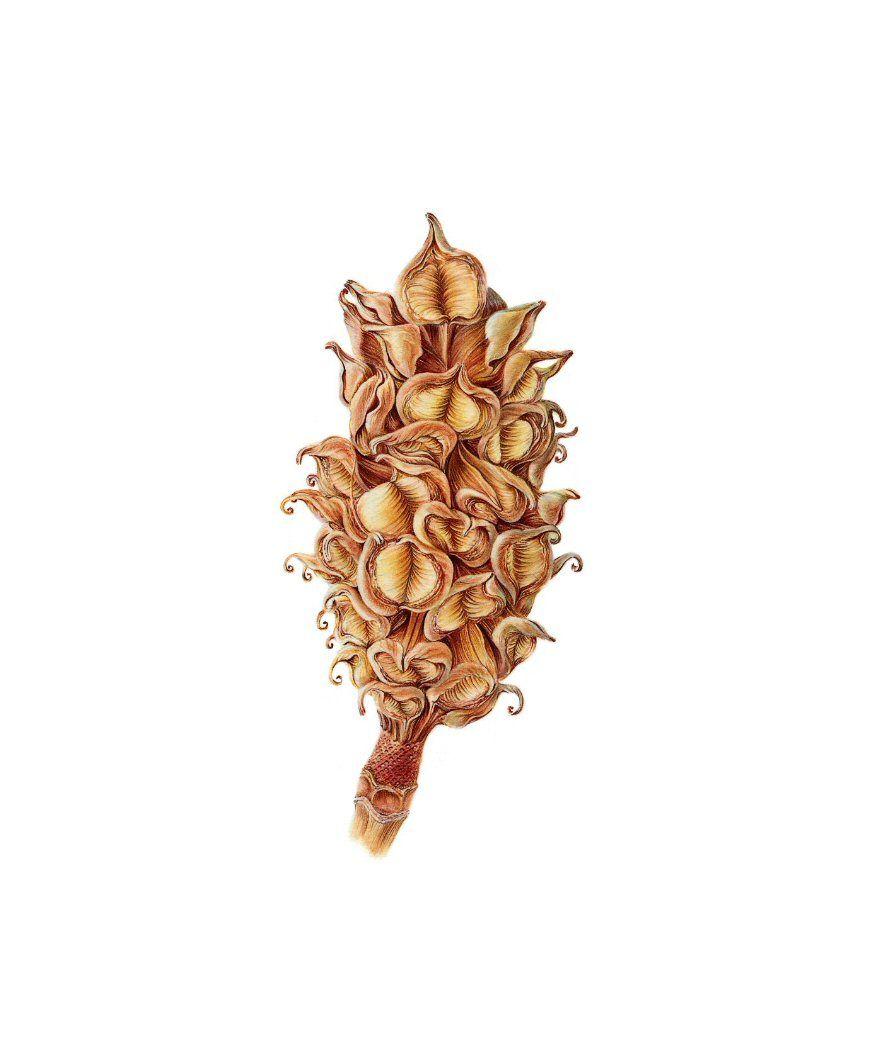 JOHN PASTORIZA-PI & NTILDE; OL (MELBOURNE, AUSTRÁLIA, 21 DE MARÇO 1975) Magnolia grandiflora [Magnolia sementes pod]  Assinado, inscrita com o título em Lápis, Lápis E Watercolour  Folha Tamanho: 245 X 205 mm. (9 3/4 X 8 pol.), Com quadro de  470 X 410 mm (18 1/2 x 16 1/8 pol.), emoldurado  - See more at: http://www.riley-smith.com/crispian/drawings/info.php?dwg=497#sthash.uQoEzCzS.dpuf magnolial.jpg (870×1053)