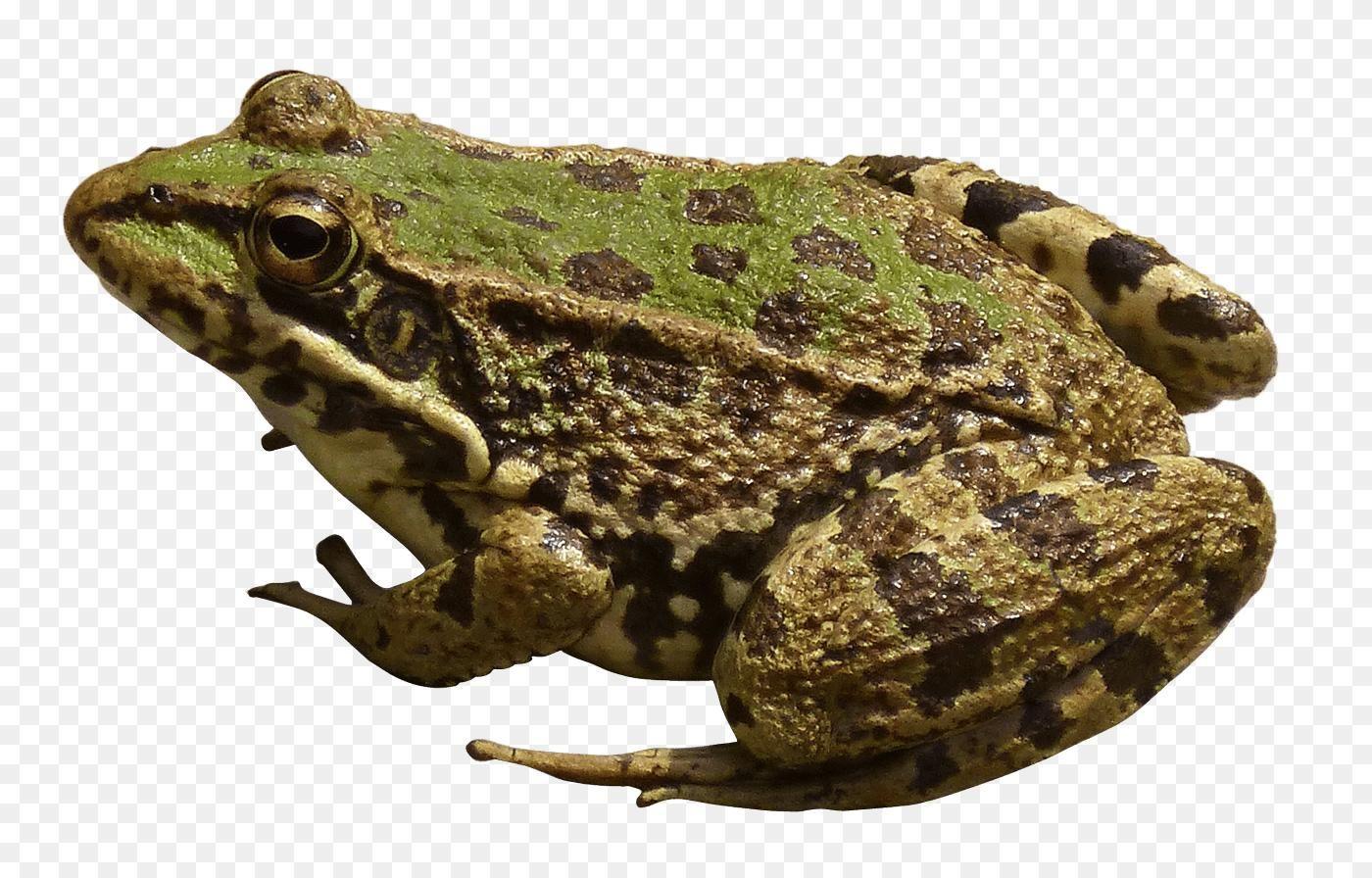 Frog Png Brown Frog Transparent Png Stickpng 2173 1419 Png Download Free Transparent Background Frog Png Png Dow Frog Free Png Downloads Transparent Frog