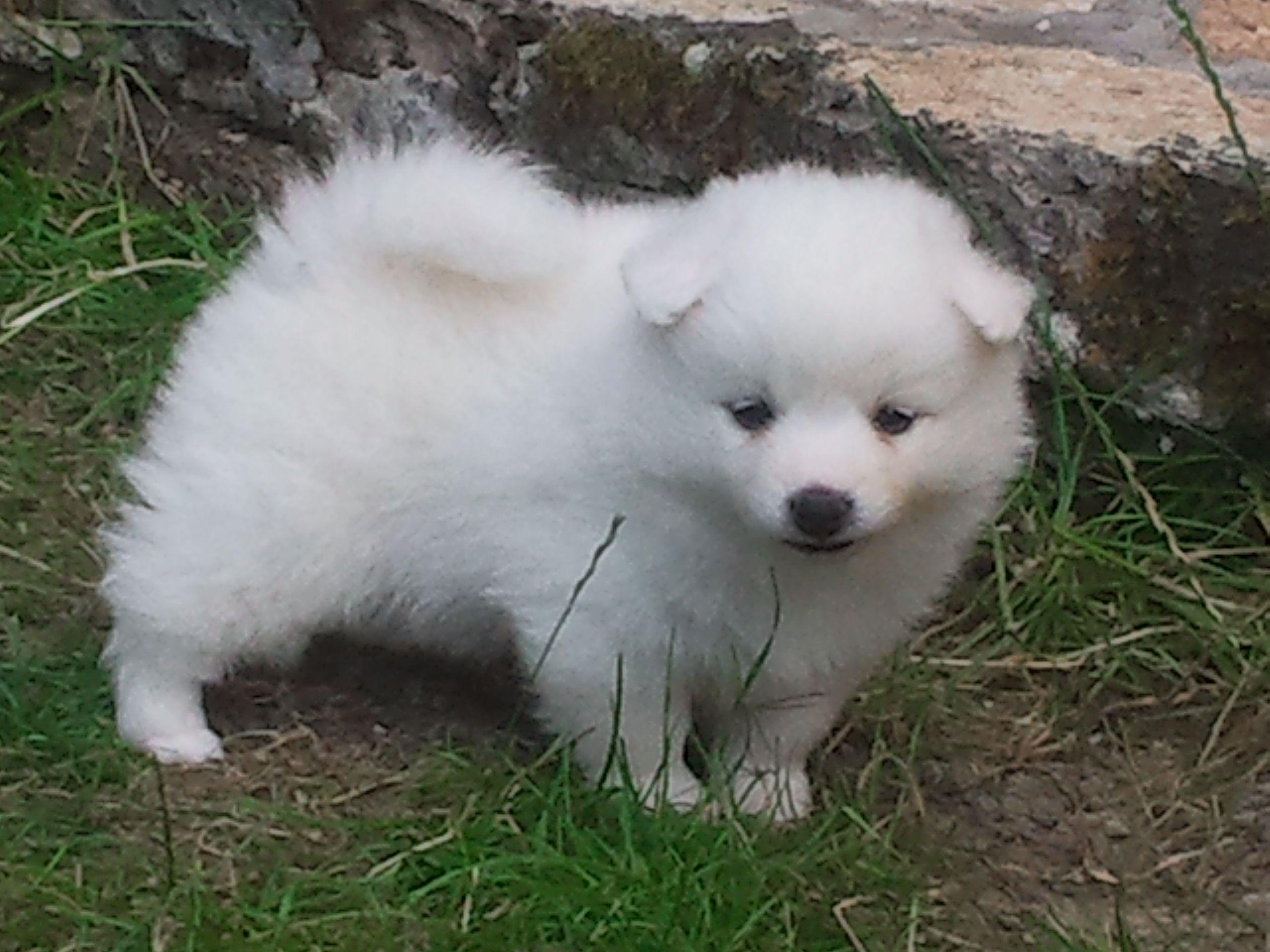 Giano dell'Umbria: cucciolo di volpino italiano | Annunci.net