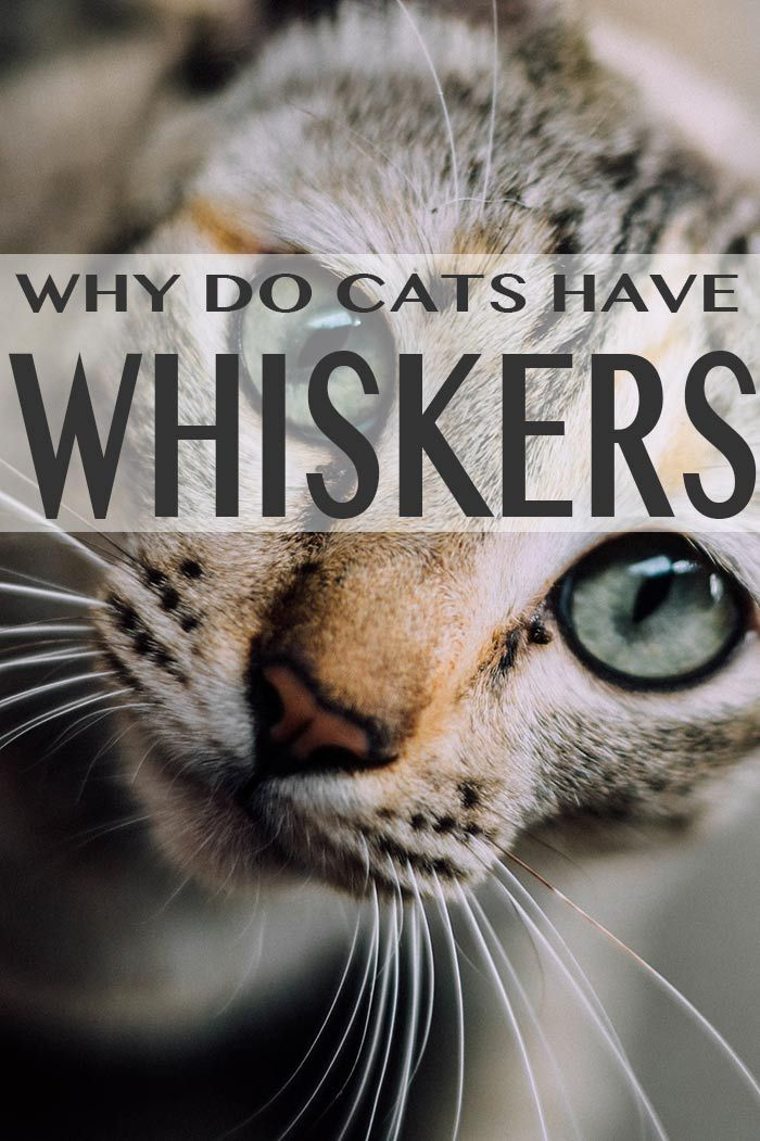 Did you know that cats also have whiskers on their jaw