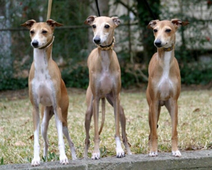 I love greyhounds so cute