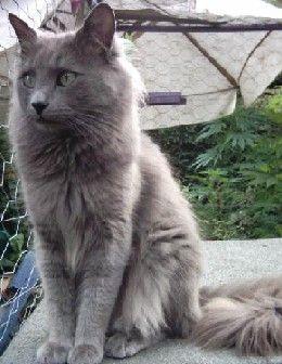 The Russian Blue Russian Blue Cat Blue Cats Cats