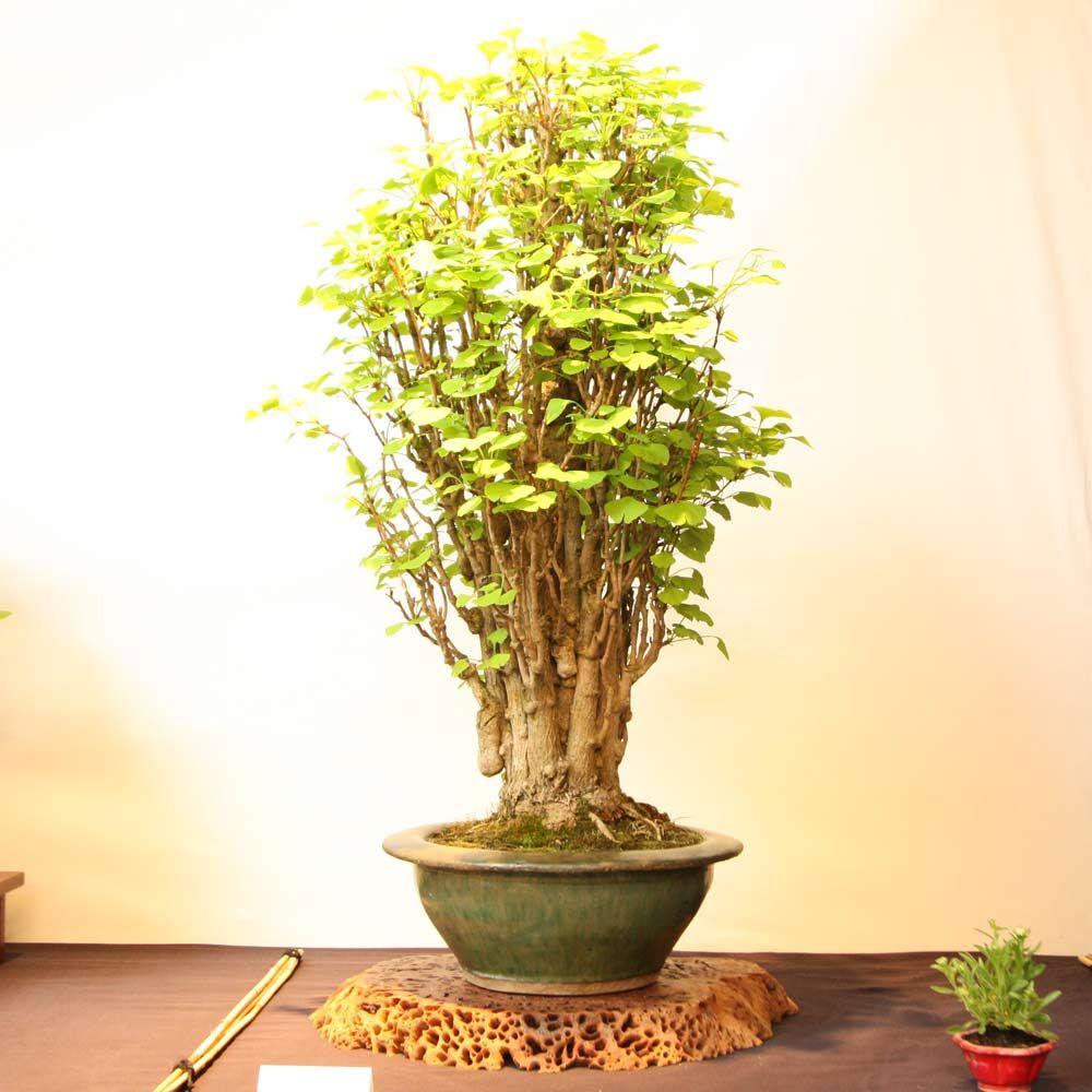 Ginko biloba Bonsai, Bonsai tree, Bonsai garden