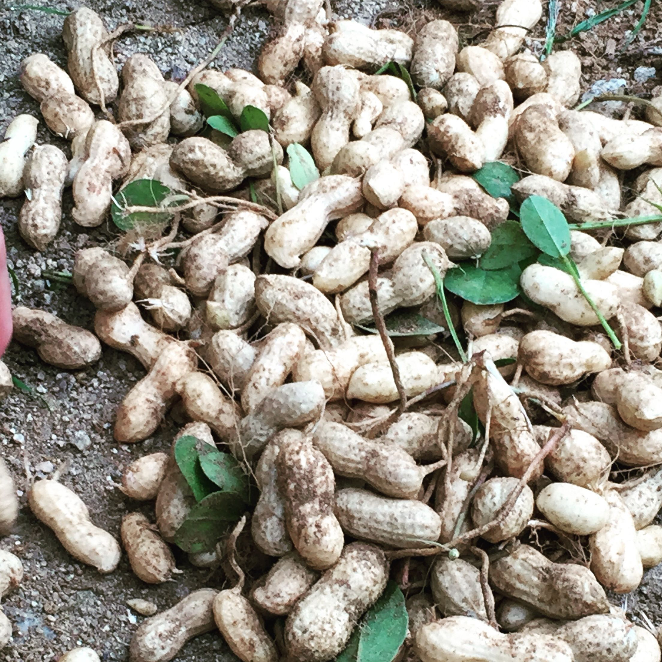 우리집 햇땅콩  korea peanuts