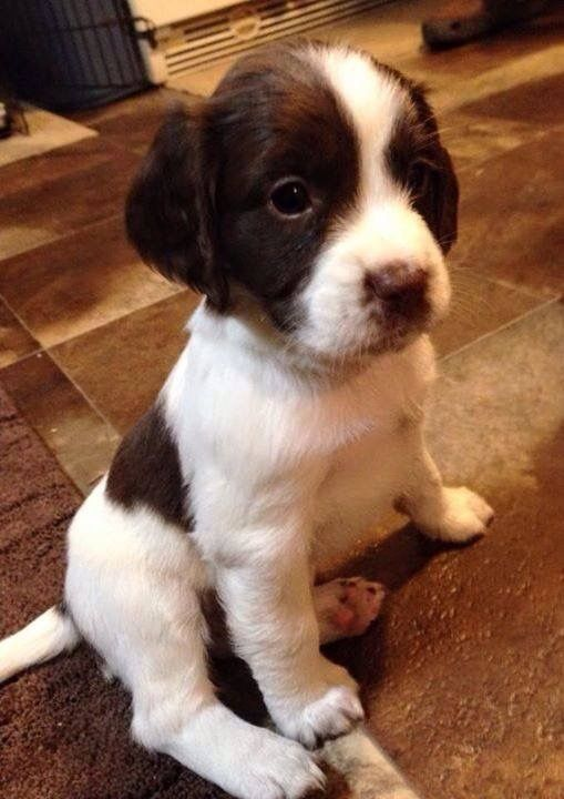 Pin By M S Wakefield Watercolours On Puppies Kittens Springer Spaniel Puppies Spaniel Puppies Springer Spaniel