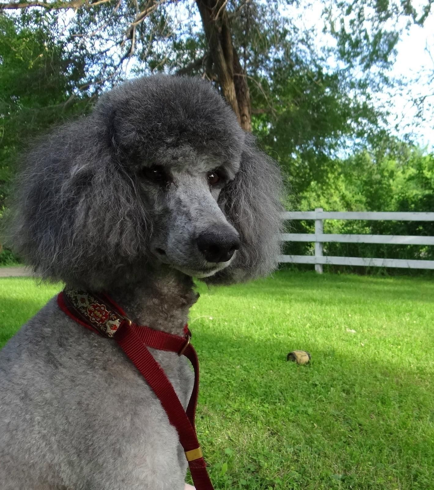 <!-- keywords: Poodle puppies for sale,HUNTING POODLES, standard poodles, MN poodles,puppies minnesota,show poodles, stud service, blue puppies,  poodles, minnesota poodles, parti poodles, health testing, quality puppy -->  <META NAME=TITLE CONTENT=Spir
