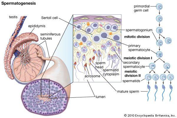 Spermatogenesis Anatomy Lab 2 Pinterest