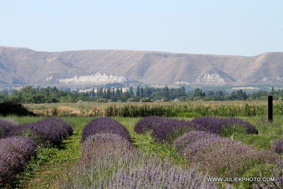 Silver Fox Lavender Farm In Emmett Idaho Lavender Festival In