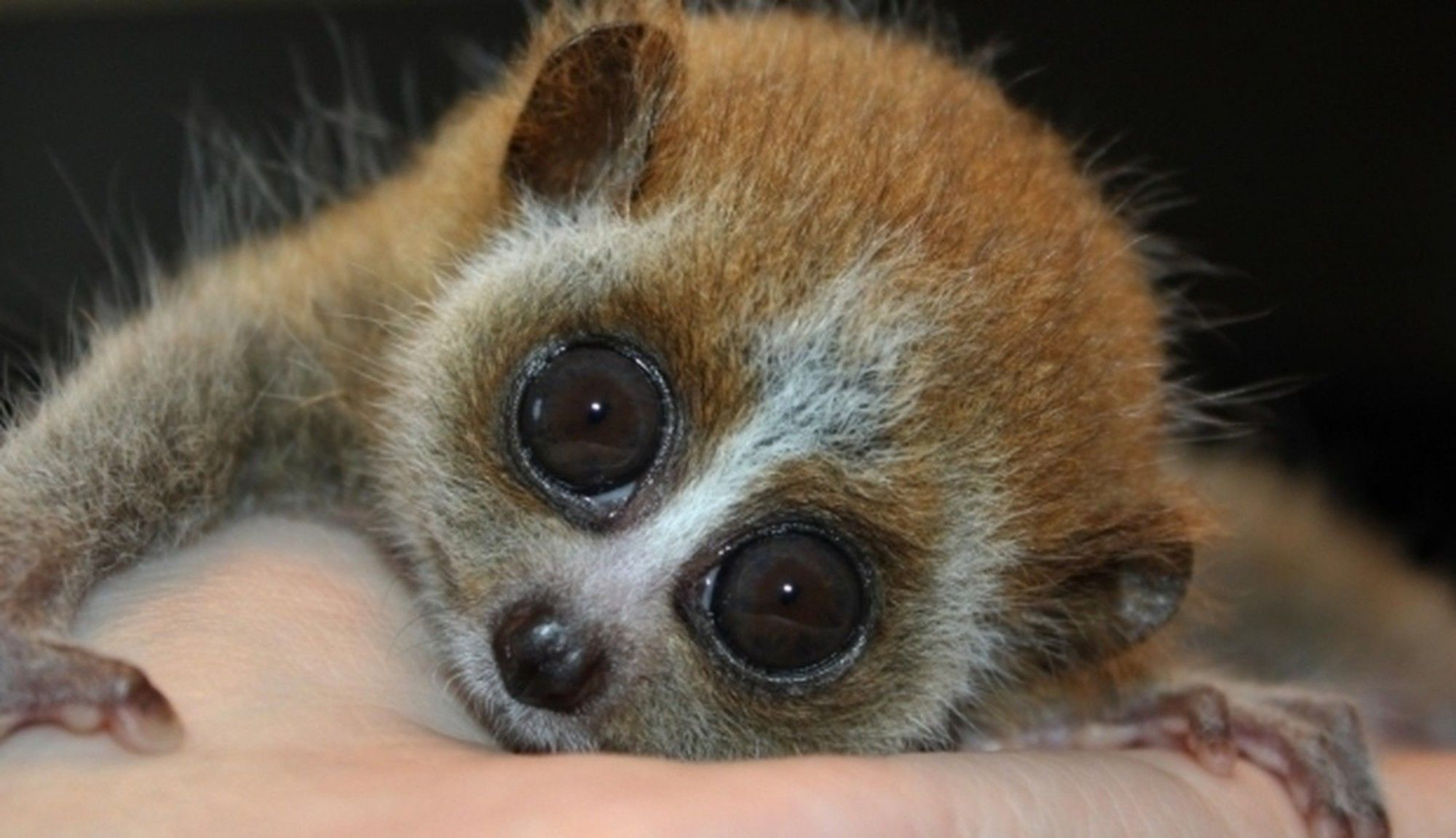 That Cute Loris Tickle Video Is Hiding An Awful Crime