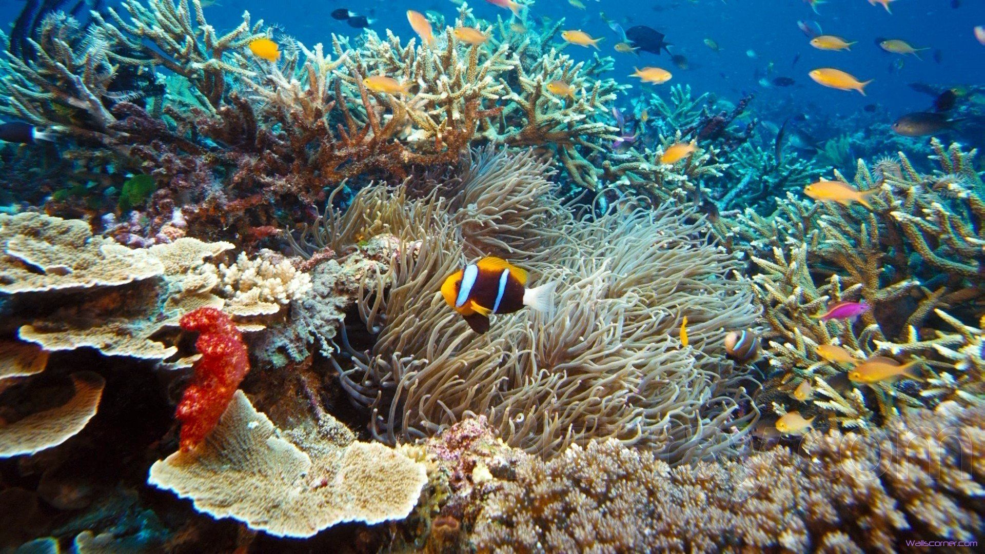 Under the sea pictures under the sea clown fish hd for Fish under the sea