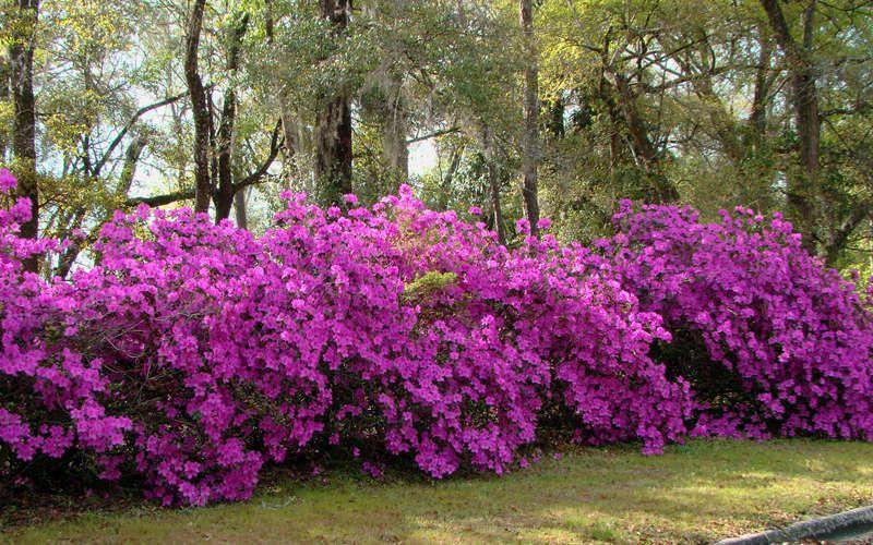 Formosa Azalea Produces An Abundance Of Large 3 4 Purple Flowers In Spring That Nearly Cover Large Plants Reac Azaleas Landscaping Flower Landscape Azaleas