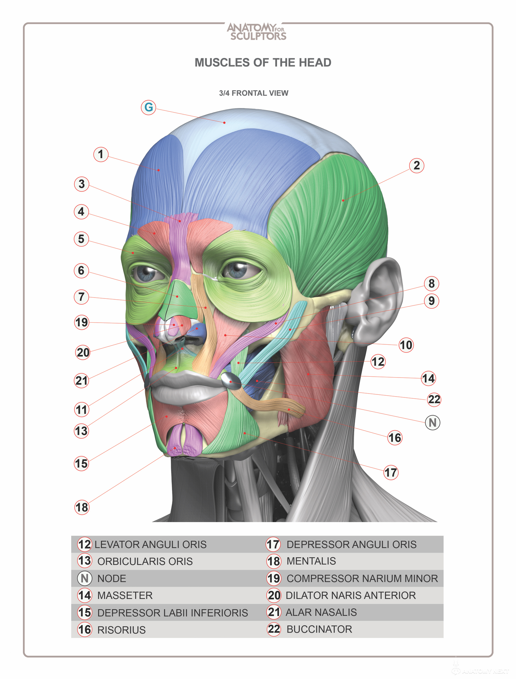 Face anatomy drawing