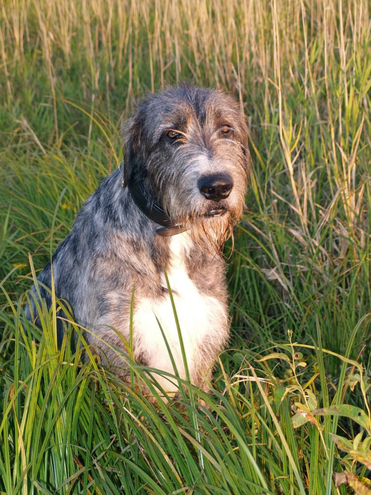 Irish wolfhound in the tall grass by Kathleen Nicolai | fotocommunity.com
