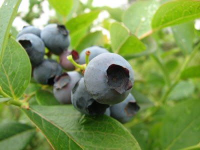 How To Planting A Backyard Berry Patch I Ve Bought 2 Blueberry