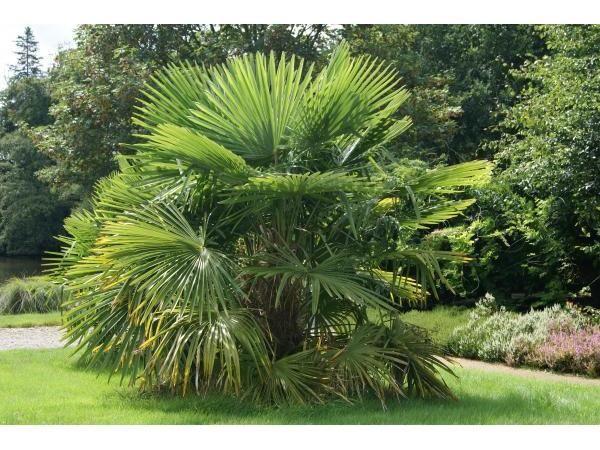 palmier de chine, 15/20 cm p9 - trachycarpus fortunei : acheter en