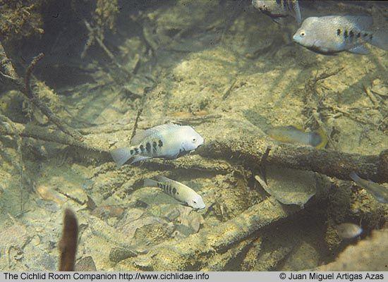 Herichthys tamasopoensis Artigas Azas, 1993