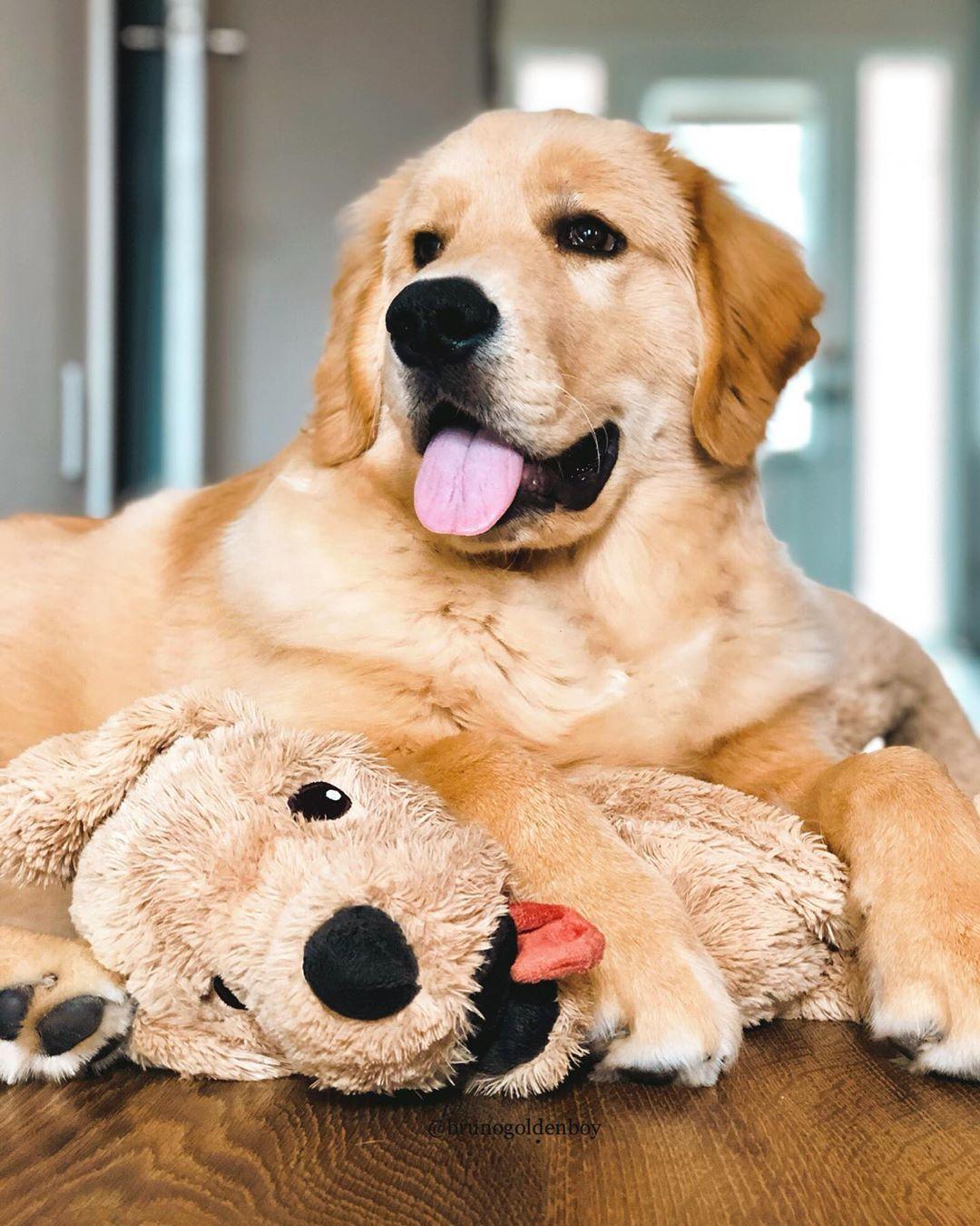 Bruno Golden Retriever Pup On Instagram Happy Double Tot 60 Pound Squeeze Dogsrule G Golden Retriever Retriever Labrador Retriever Puppies