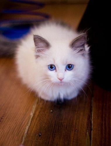 A Ball Of Fluff Cats Cute Cats Kittens