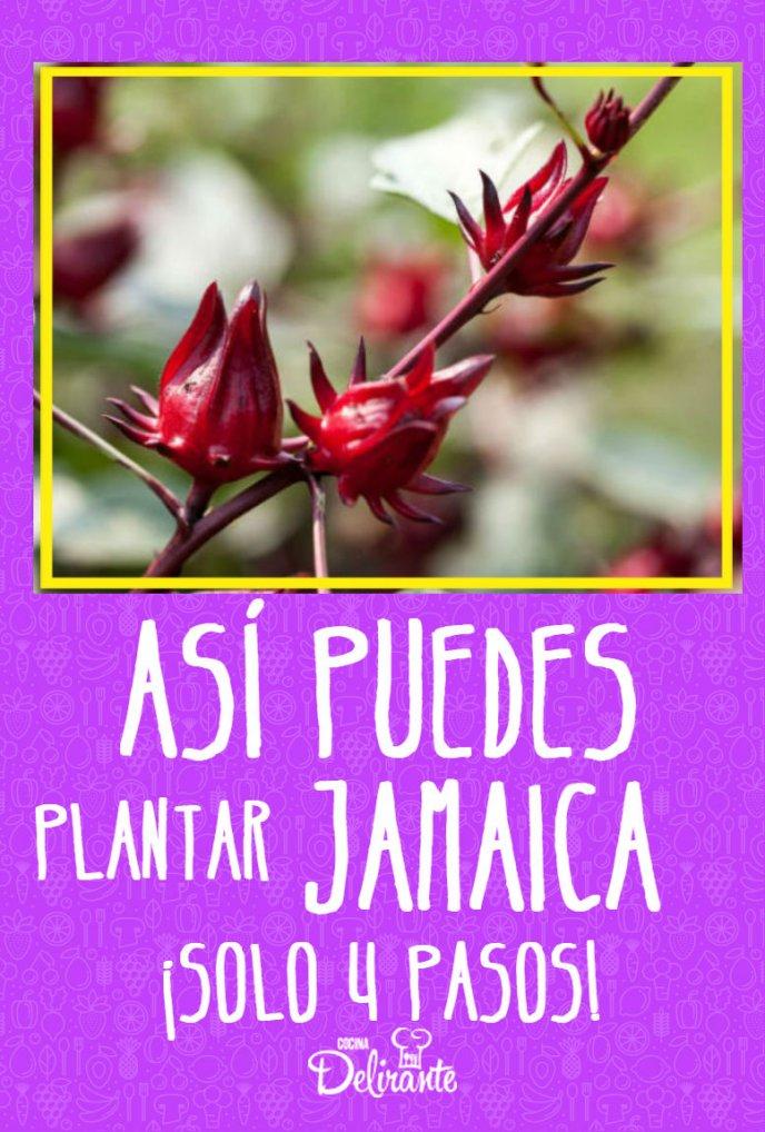 Así Puedes Plantar Jamaica En Casa En Solo 4 Pasos Cultivo De Plantas Planta De Jamaica Cultivo De Hortalizas