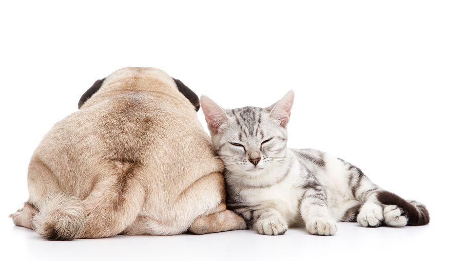 Pug And Kitten Sick Pets Pets Cat Insurance
