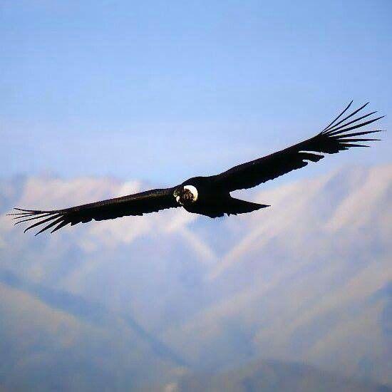 El Cóndor Planea Andean Condor California Condor Birds Of Prey