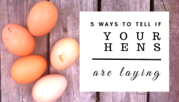 The 5 Best Ways To Tell If Your Hens Are Laying