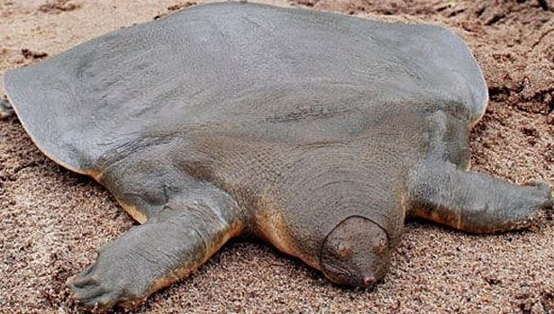 Pelochelys cantorii (Soft shell turtle)