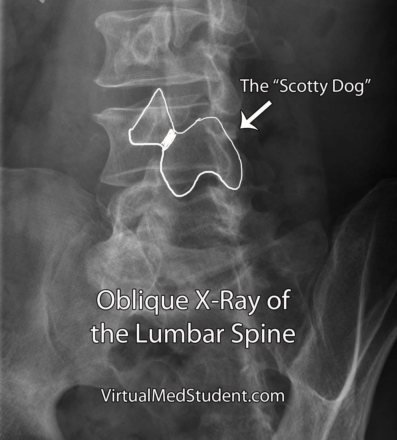 Xray Scotty Dog | radiology | Pinterest | Radiology, Rad tech and ...