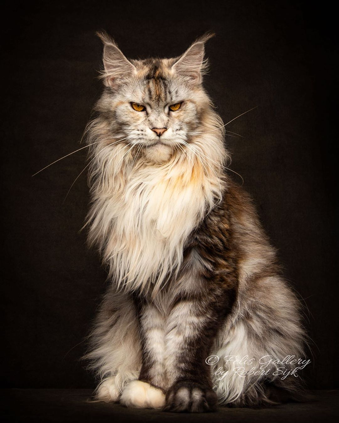 Pin On Maine Coon S