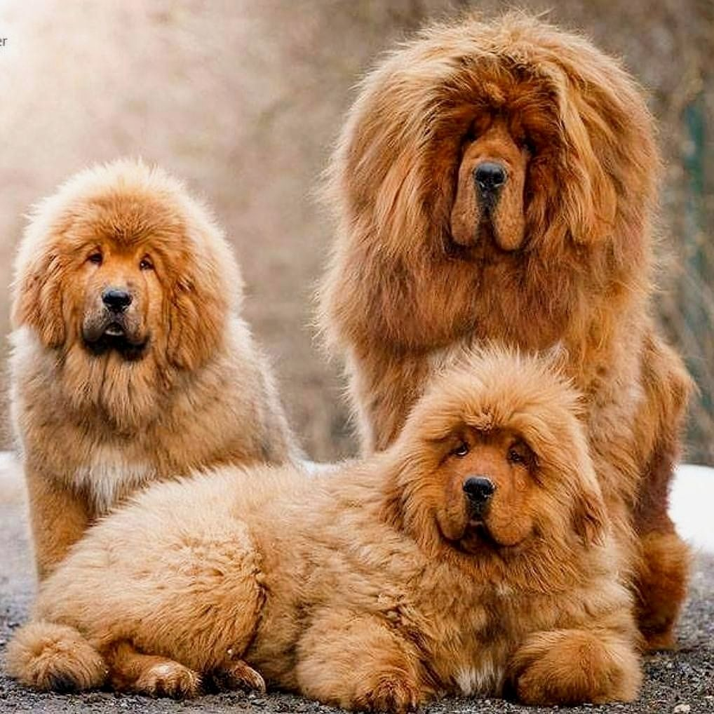 Chow Chow Mix Puppies For Sale In Florida Ideas