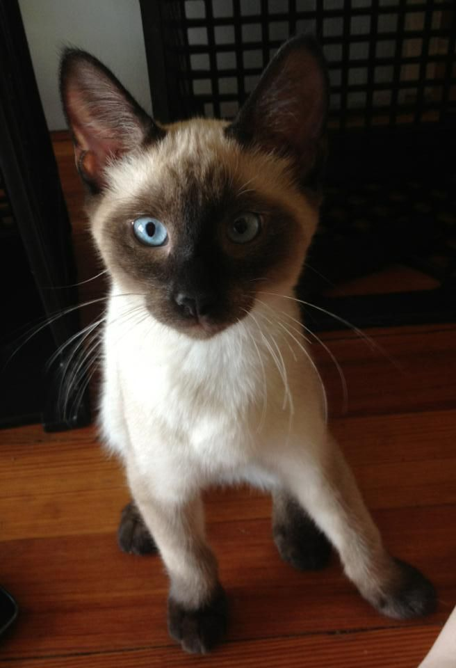 Lost Cat Siamese Salem Ct United States 06420 Lost Cat Cats Seal Point Siamese