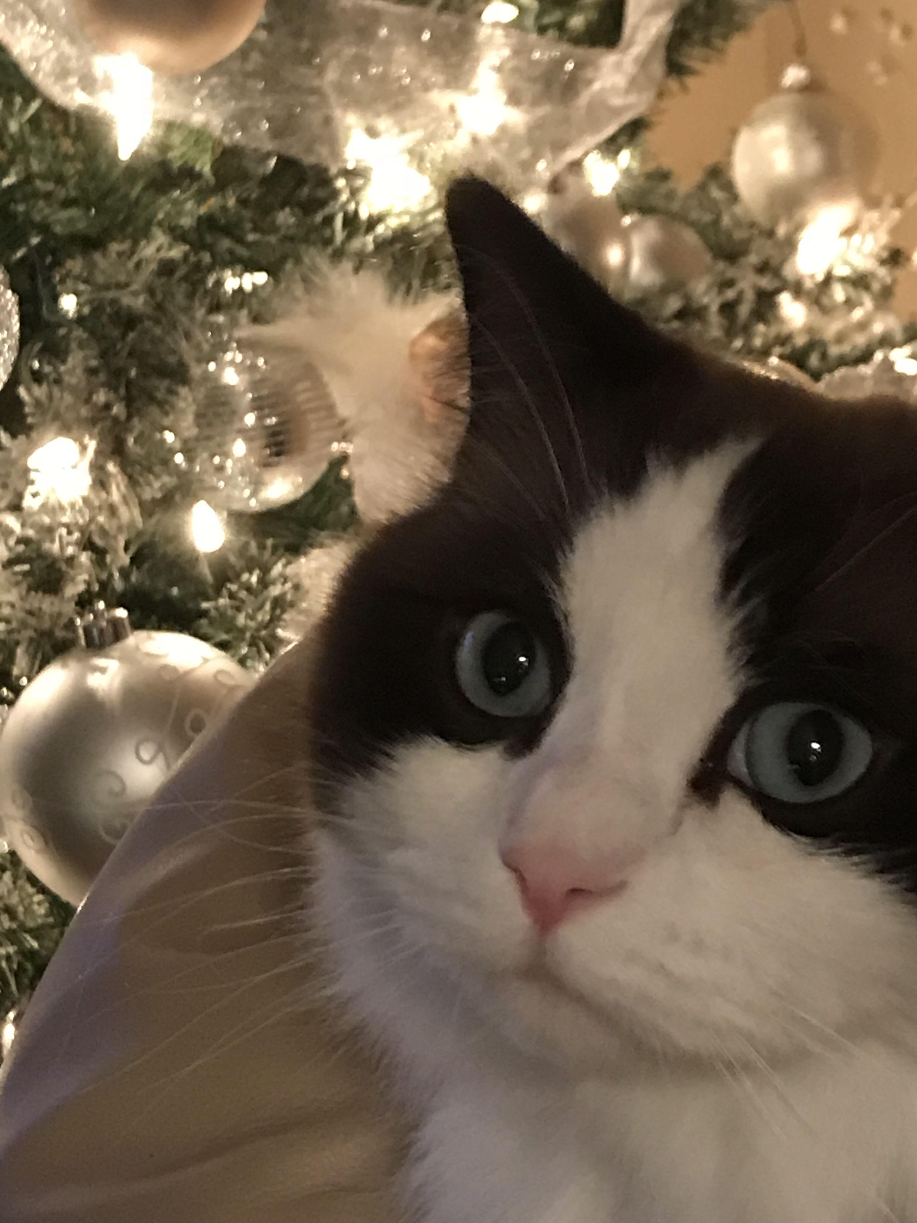 Rag Doll Cat Kittens Rag doll selfie Ragdoll cat