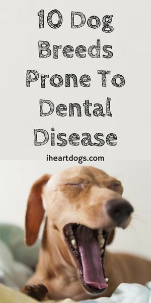 10 Dog Breeds Prone To Dental Disease
