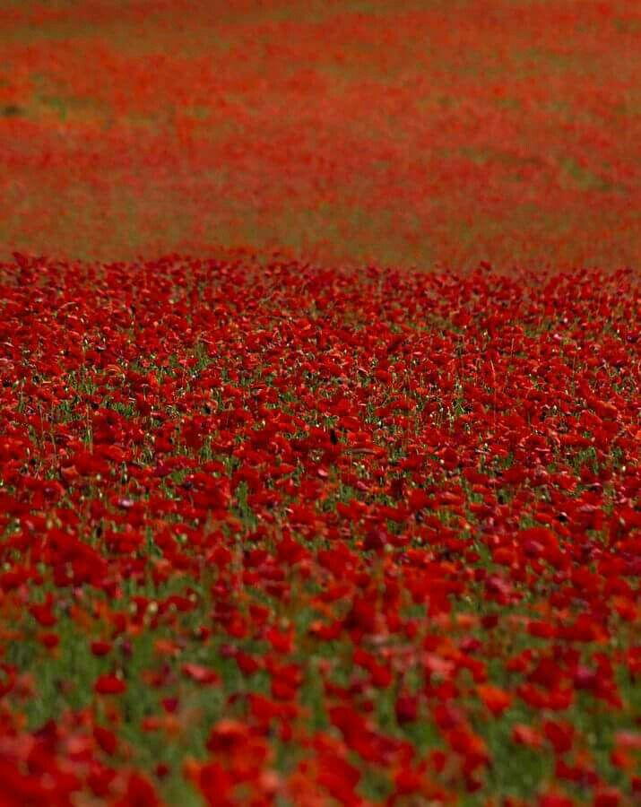 Pin by ry raroru on over the rainbw pinterest poppy red poppy flower meaning flower meaning mightylinksfo