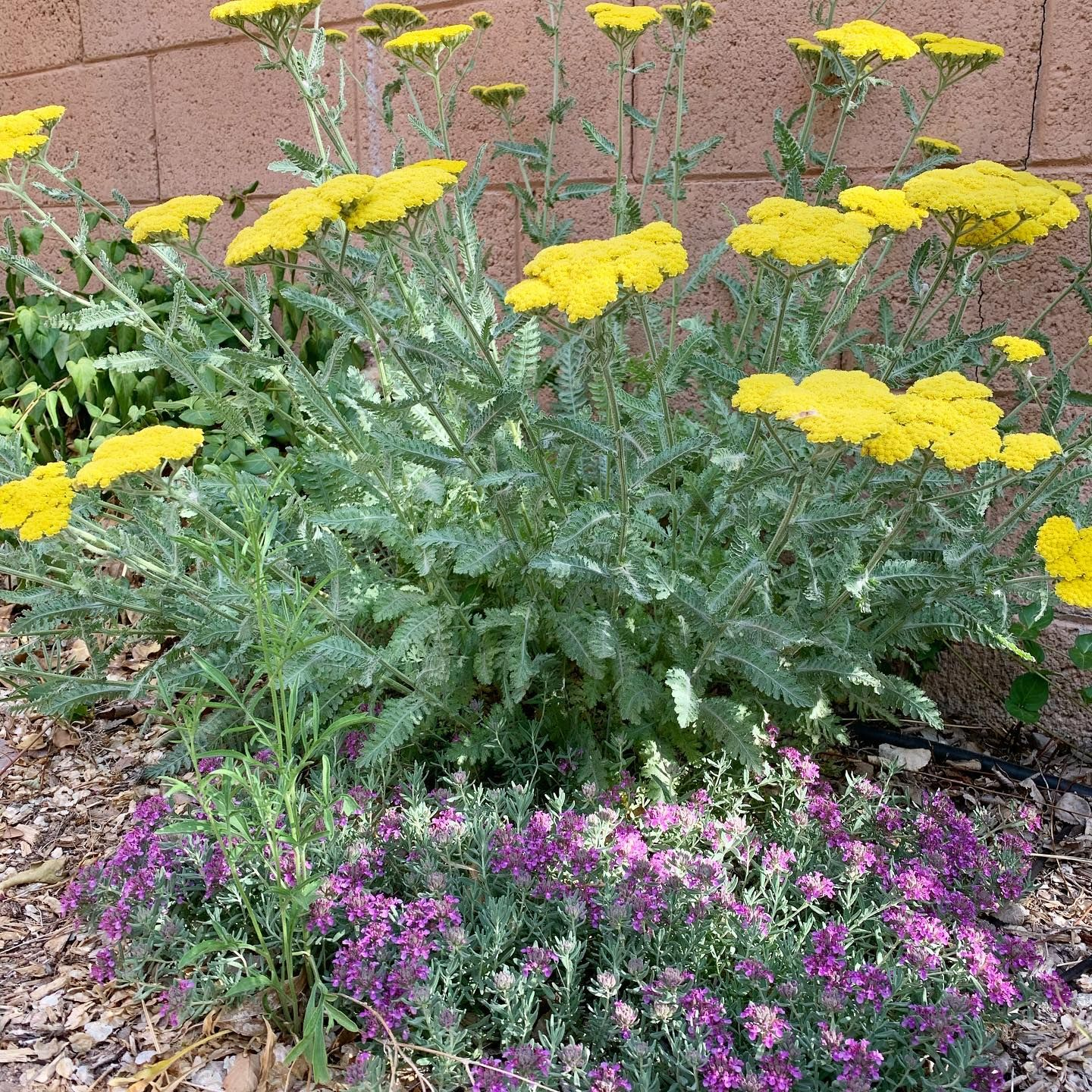 Beautiful Plants For This First Day Of July Check Out These Desert Friendly Flowering Plants Moonshine Yarrow In 2020 Plants Planting Flowers Drought Tolerant Plants