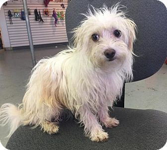 Phoenix Az Maltese Cairn Terrier Mix Meet Star Trek A Dog For