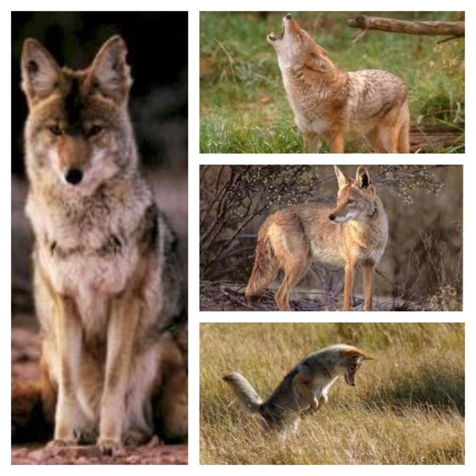 Mana Keepers Coyote Totem Quick Reference I Am Pinterest