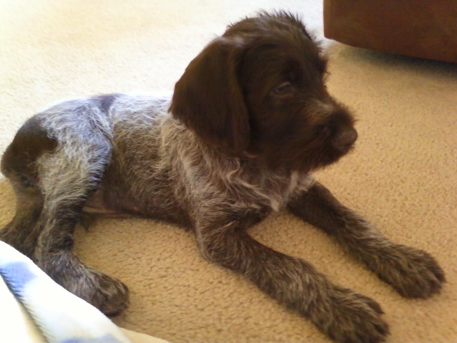 Wirehaired Pointing Griffon puppies | Chien | Pinterest