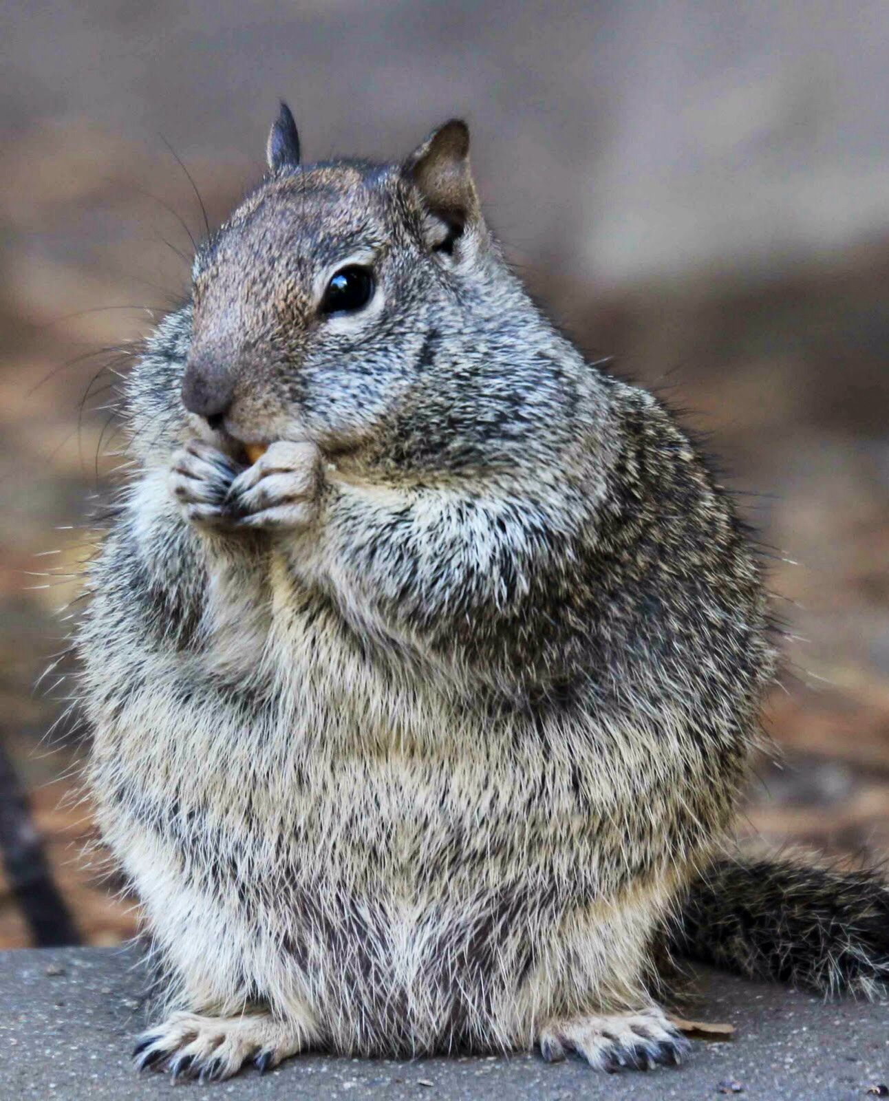 this grey squirrel is just about fat enough to make thru the
