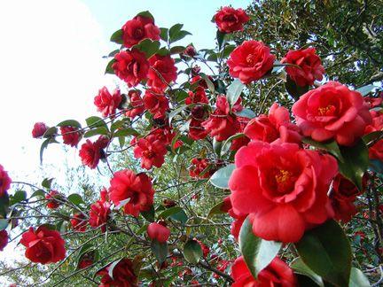 Camellia Trees The Dark Red Always Remind Of Alice In Wonderland