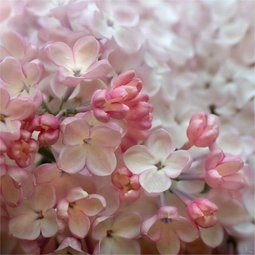 Pink Lilacs Beautiful Flowers Amazing Flowers Flowers