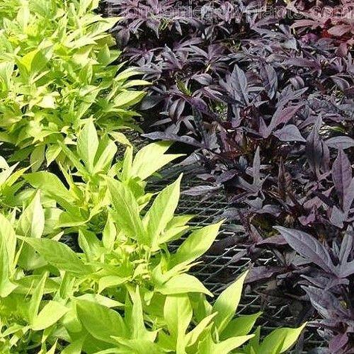 Ornamental sweet potato vine tender perennial plants for Full sun landscaping plants