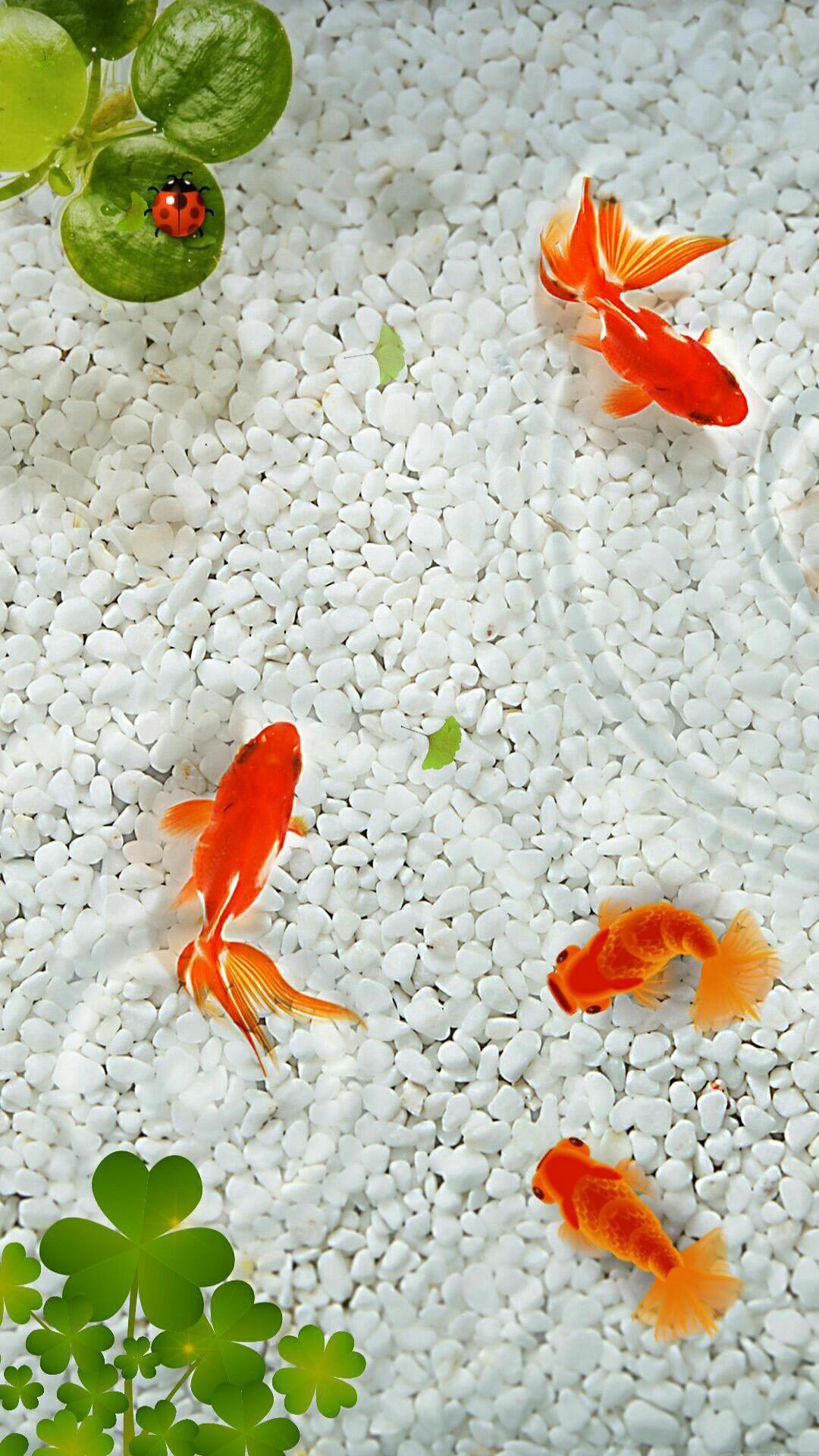 Freshwater Fish Background Image Goldfish Wallpaper Fish Background Fish Wallpaper