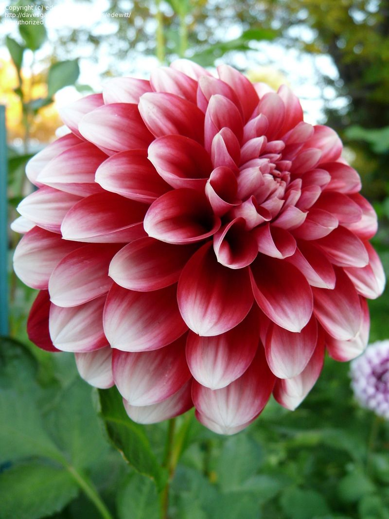 Ringo Dahlia 4 6 Bloom 3 12 Bush Red With White Tips