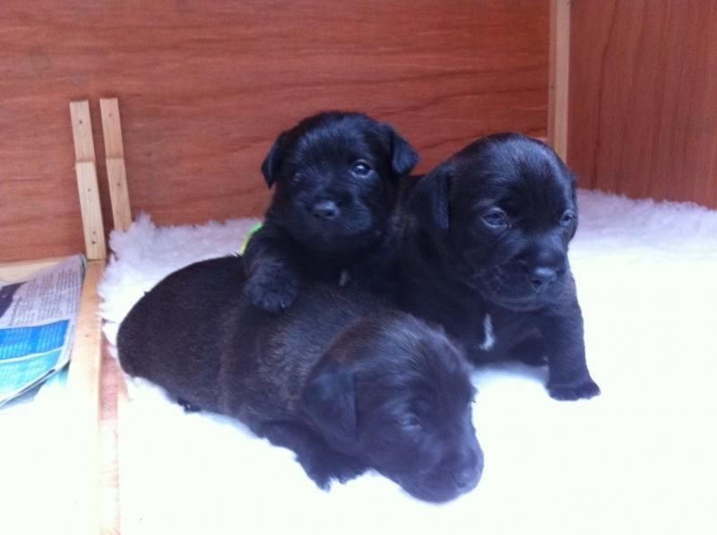 Border Terrier X Patterdale Terrier Puppies For Sale In The Uk