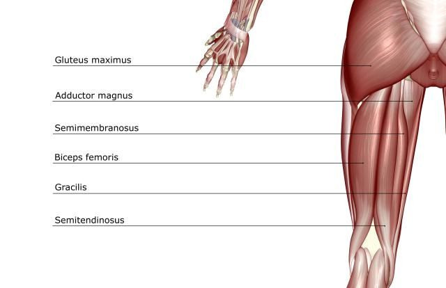 hamstring muscles and your back pain | back pain, pain d'epices, Muscles