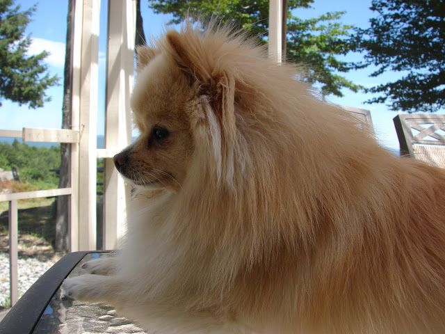Pieced Pastimes: Pomeranian - Charlie - the 'Lion King' stands guard over his mountain