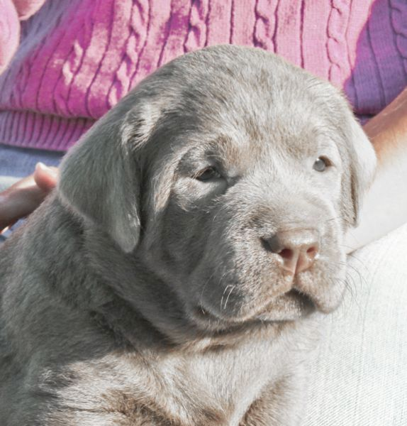 Silver Lab Puppies For Sale At 4 Weeks Old 009 Lab Puppies Puppy Dog Images Silver Lab Puppies