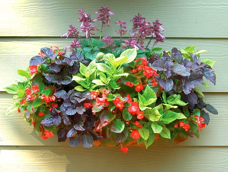 red and purple salvia - Google Search